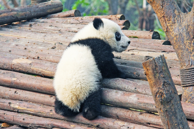CHINA RUTA PARA DESCUBRIR OSO PANDA